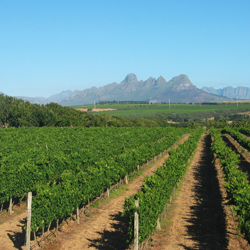 stellenberg-vineyards